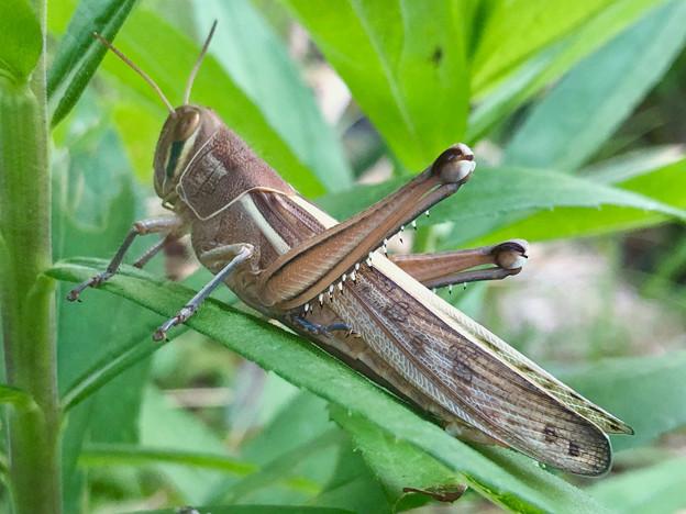草の上にいた立派なツチイナゴの成虫 - 6