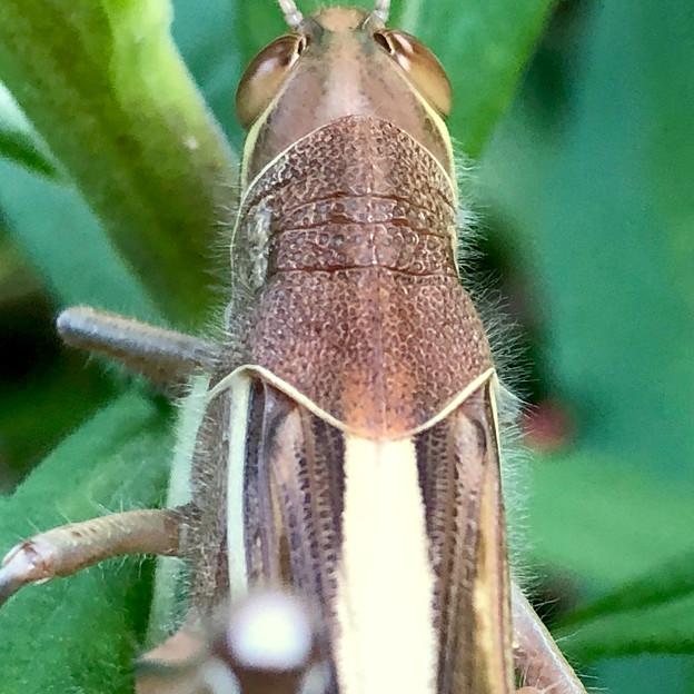 草の上にいた立派なツチイナゴの成虫 - 16