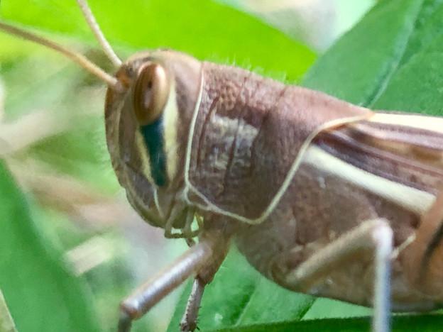 草の上にいた立派なツチイナゴの成虫 - 17