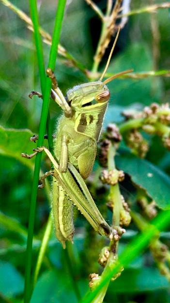 草の上にいたツチイナゴの幼虫 - 2