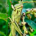 Photos: 草の上にいたツチイナゴの幼虫 - 2