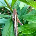 Photos: 草の上にいた立派なツチイナゴの成虫 - 15