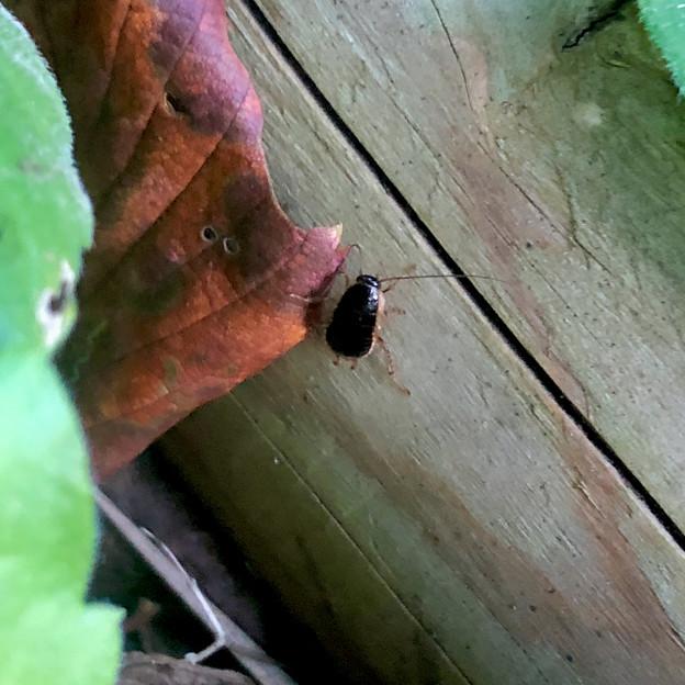 モリチャバネゴキブリの幼虫 - 1