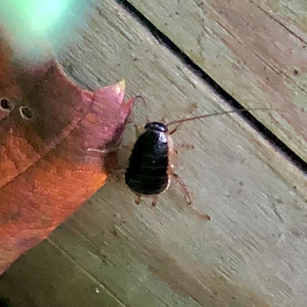モリチャバネゴキブリの幼虫 - 2