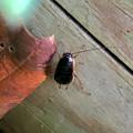 Photos: モリチャバネゴキブリの幼虫 - 2
