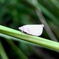 Photos: 草の上にいたトビイロハゴロモ - 2