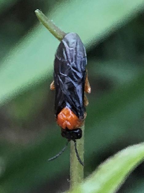 草の上にいたニホンカブラハバチ - 1