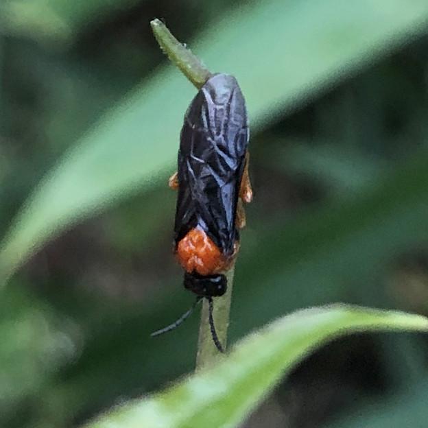 草の上にいたニホンカブラハバチ - 3