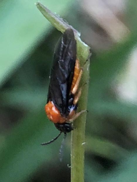 草の上にいたニホンカブラハバチ - 5