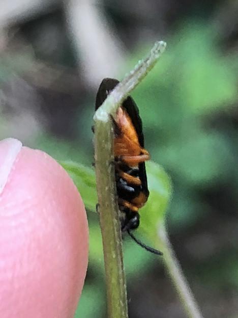 草の上にいたニホンカブラハバチ - 6