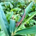 Photos: 葉っぱの上でくつろいでた?カナヘビ - 1