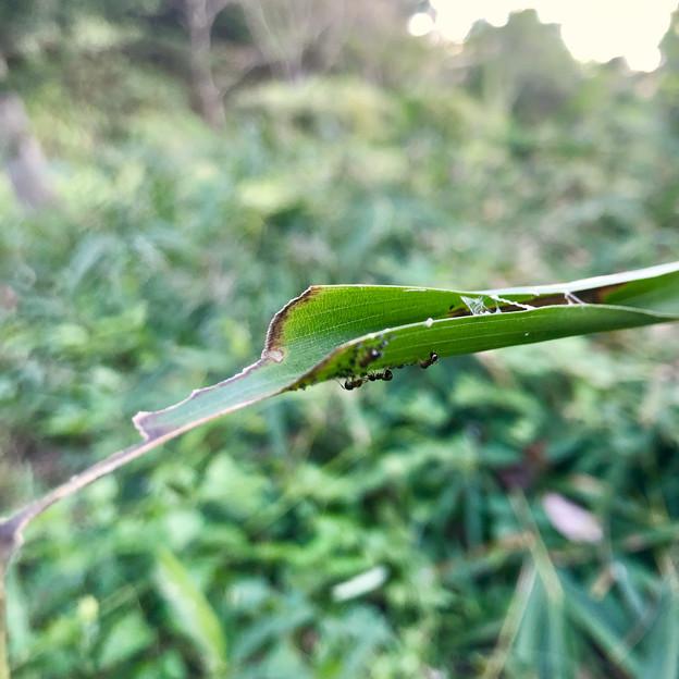 葉っぱの上に沢山いた小さなアリ - 3