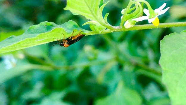 葉っぱの裏にいたニホンカブラハバチ - 1