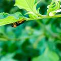 Photos: 葉っぱの裏にいたニホンカブラハバチ - 1