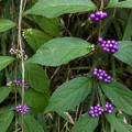 Photos: 築水池沿いに生えてた紫色の実 - 1