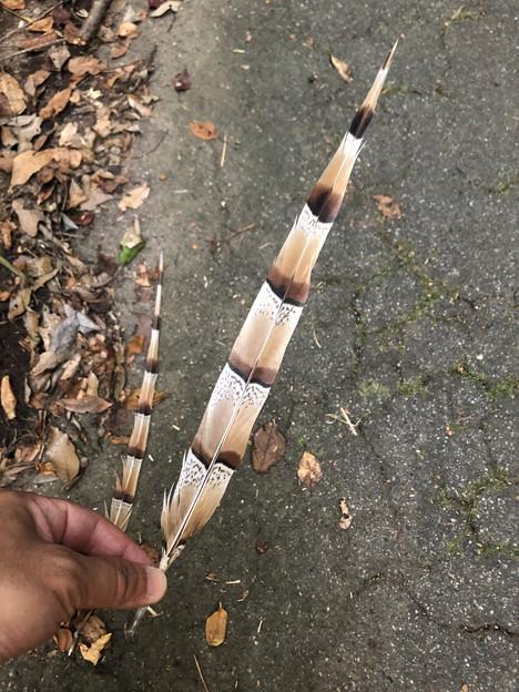 道に落ちてたヤマドリ(キタヤマドリ)の羽