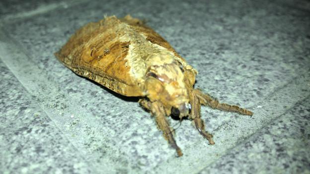 コンビニにいた筒状の大きめの蛾 - 4