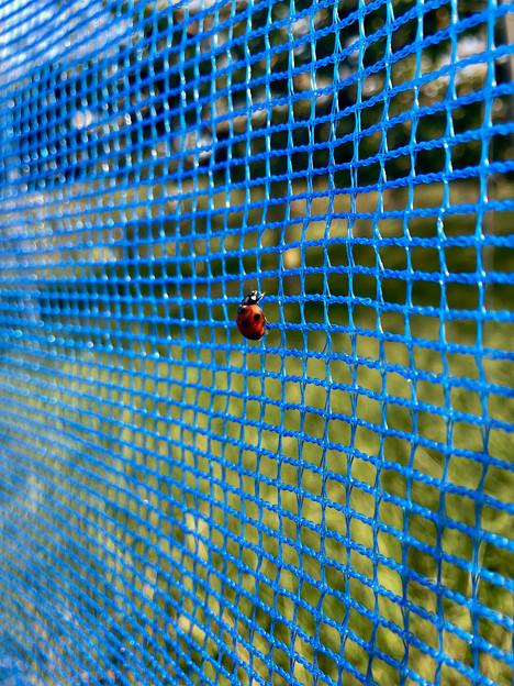 青いネットの上にとまるテントウムシ - 1