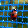 Photos: 青いネットの上にとまるテントウムシ - 2
