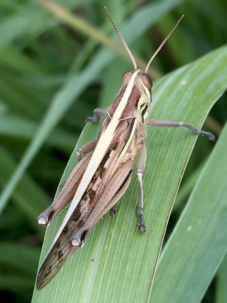 草の上にいたツチイナゴ - 1