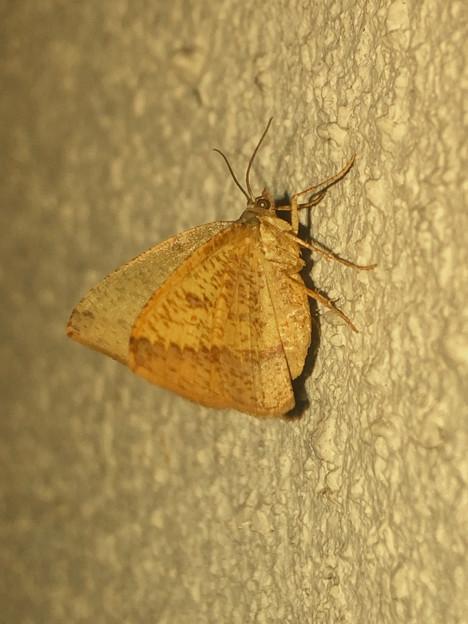 茶色の蝶みたいな…蛾? - 1
