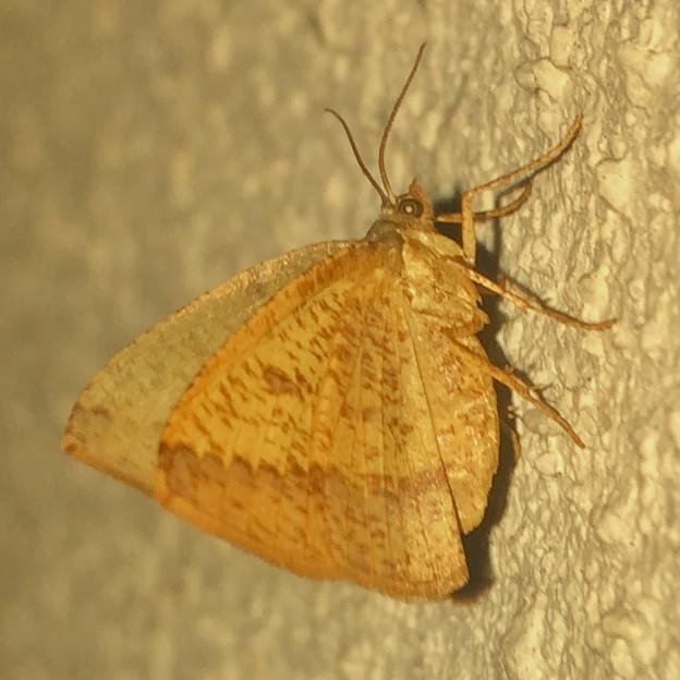 茶色の蝶みたいな…蛾? - 2