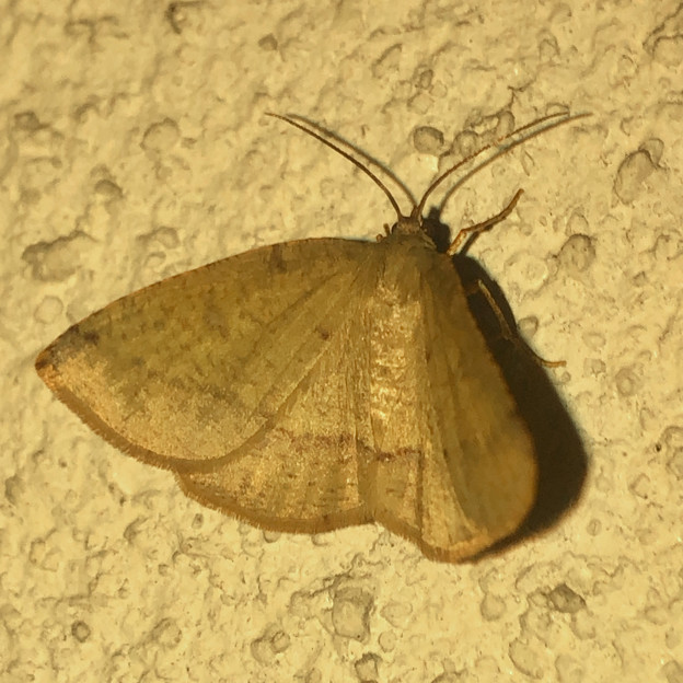 茶色の蝶みたいな…蛾? - 3