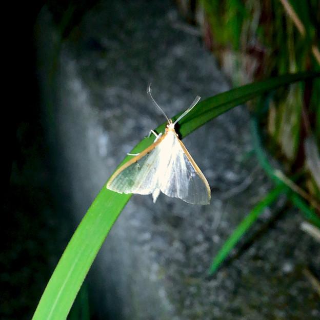 カゲロウ…かと思いきや、透明な羽を持つ蛾「マエアカスカシノメイガ」