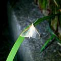 Photos: カゲロウ…かと思いきや、透明な羽を持つ蛾「マエアカスカシノメイガ」