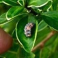 Photos: ナナホシテントウの幼虫 - 3