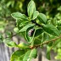 Photos: ナナホシテントウの幼虫 - 1