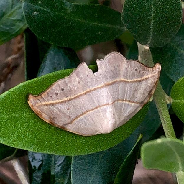 枯れ葉の様な小さな蛾 - 2