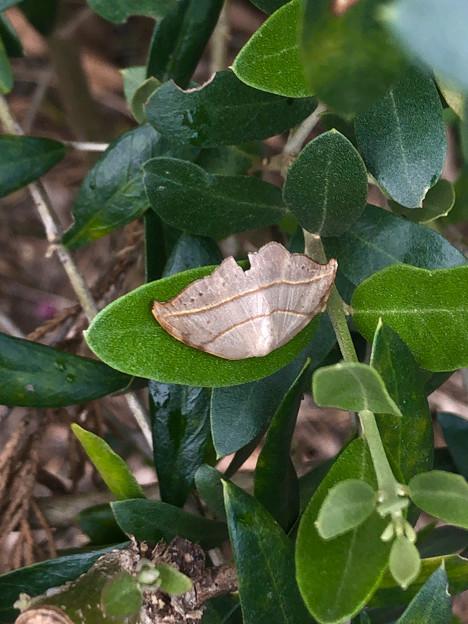 枯れ葉の様な小さな蛾 - 1