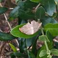 Photos: 枯れ葉の様な小さな蛾 - 1