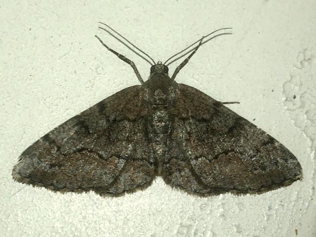 黒っぽい蛾 - 1