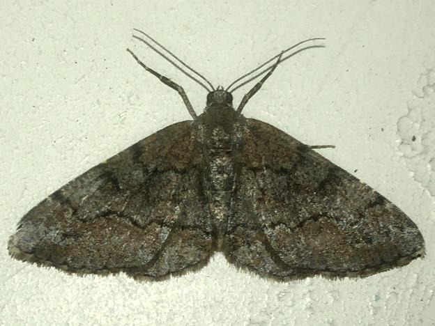 黒っぽい蛾 - 2