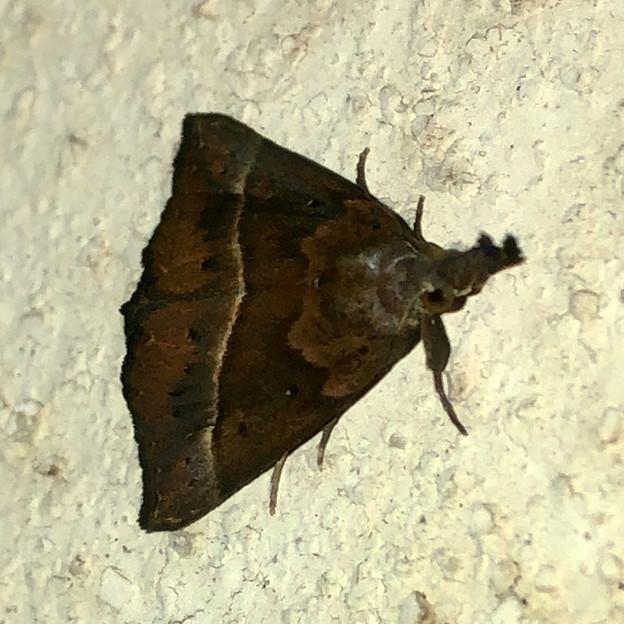 三角形のアツバ亜科の蛾 - 1