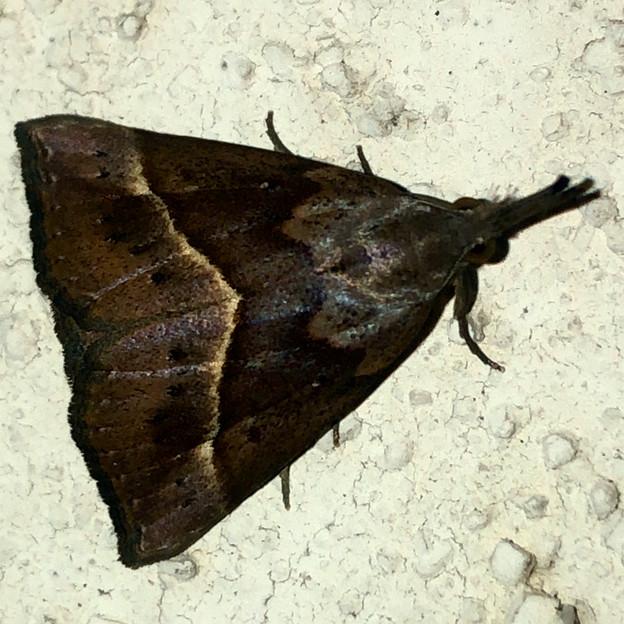 三角形のアツバ亜科の蛾 - 2