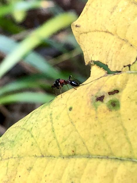葉っぱの上にいたアリグモ - 3