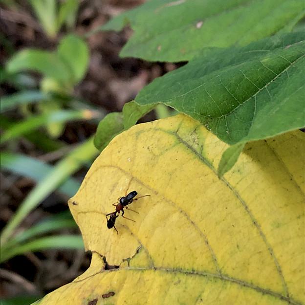 葉っぱの上にいたアリグモ - 4