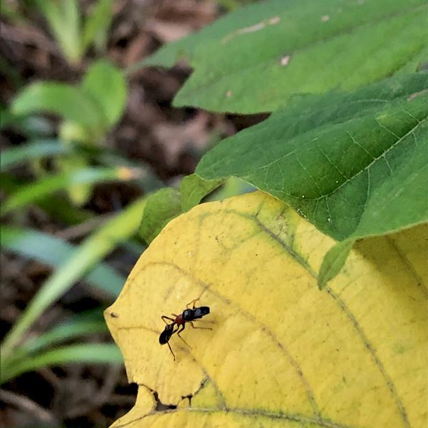 葉っぱの上にいたアリグモ - 7