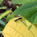 Photos: 葉っぱの上にいたアリグモ - 10
