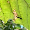 Photos: 葉っぱの上にいたアリグモ - 11