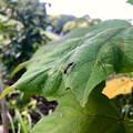 Photos: 葉っぱの上にいたアリグモ - 23