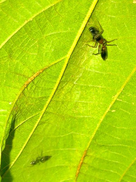 葉っぱの裏で遭遇したアリグモと灰色のアリ - 2