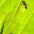 Photos: 葉っぱの裏で遭遇したアリグモと灰色のアリ - 2