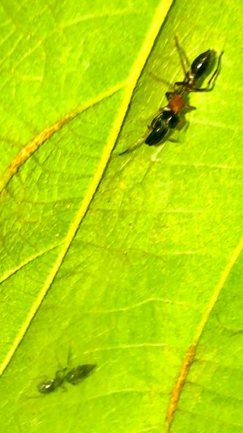 葉っぱの裏で遭遇したアリグモと灰色のアリ - 3