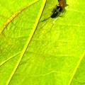 Photos: 葉っぱの裏で遭遇したアリグモと灰色のアリ - 3