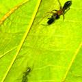 Photos: 葉っぱの裏で遭遇したアリグモと灰色のアリ - 4