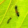 Photos: 葉っぱの裏で遭遇したアリグモと灰色のアリ - 5
